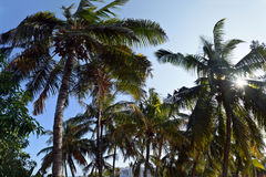 Palm trees in the tropics Royalty Free Stock Photo