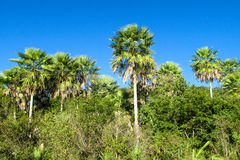 Palm trees in tropics Stock Images