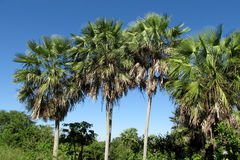 Palm trees in tropics. Palm trees in tropical forest, tropical trees, blue sky, beautiful scenery sunny day Stock Photo