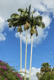 Palm trees in the tropics, view from below beautiful blue sky Royalty Free Stock Photos