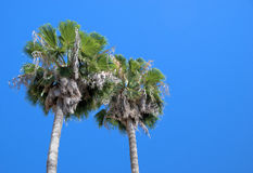 Palm trees. Two palm trees against a clear blue sky. The photo was taken in Spain and leaves room for type royalty free stock image