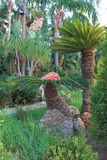 Palm trees. Two decorative palm trees in the garden. Pefki. Rhodes, Greece Stock Photos