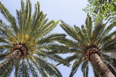 Palm Trees. Two palm trees viewed from below Stock Images