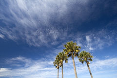 Palm trees  under blue sky Stock Photo