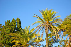 Palm trees under a blue sky Royalty Free Stock Images