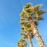 Palm trees under a blue sky Royalty Free Stock Image