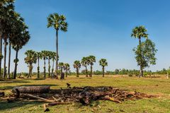 Palm trees under clear blue skies on a green field. Palm trees under clear blue skies on a field covered with green grass Royalty Free Stock Photo