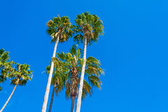 Palm trees under clear sky in California Royalty Free Stock Photography