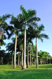 Palm trees in vertically. Plam trees with variegated shadow, under sun shine in morning after sun raising in grass land Stock Photos