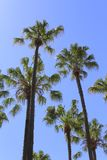 Palm trees. View at palm trees under the blue sky in Australia Stock Image