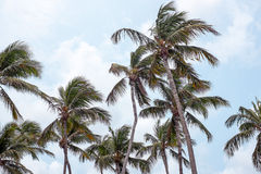 Palm trees waving in the wind on Aruba island Stock Photos