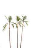Palm trees on white background Stock Photography