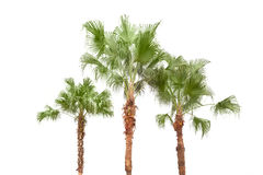 Palm trees on white background Royalty Free Stock Photography