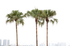 Palm trees on white background Royalty Free Stock Photos