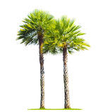 Palm trees on white background Royalty Free Stock Photo