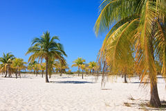 Palm trees on the white sand. Playa Sirena. Cayo Largo. Cuba Stock Image