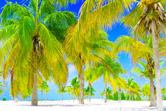 Palm trees on white sand beach. Palm grove in Playa Sirena. Cayo Largo. Cuba. Royalty Free Stock Images