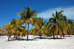 Palm trees on white sand, Cayo Largo del Sur - Cuba Stock Images