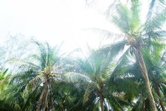 Palm trees on a white sky background Royalty Free Stock Image