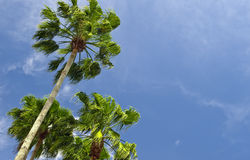 Palm Trees in the Wind Stock Photos