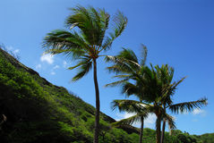 Palm trees in the wind. Palm trees blowing in the wind in hawaii Stock Photos