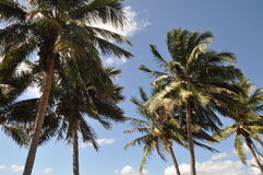 Palm Trees in the Wind, Australia Royalty Free Stock Photo