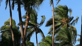 Palm trees in wind stock video