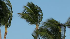 Palm trees in wind stock footage