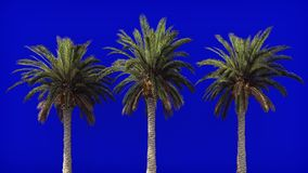 palm trees in the wind on blue screen beautiful summer looped background the branches of palm tree in the wind on blue screen in k stock video
