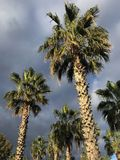 Palm trees in the wind. Palm trees on cloudy winter weather taken by me Stock Image