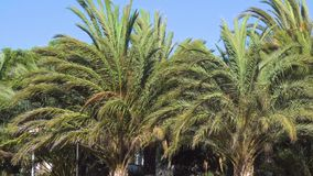 Palm Trees in the Wind. Palm Trees in the Strong Wind stock footage