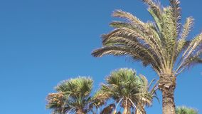 Palm trees in the wind. Palm trees in the strong wind against blue sky stock footage