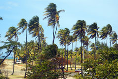 Palm trees in the wind on a tropical beach. Horizontal wide Stock Images