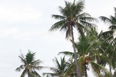Palm trees in the wind on a tropical coastline in Thailand.  Cop Royalty Free Stock Images
