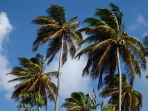 Palm trees on a windy day. Stock Photo