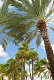 Palm trees on a windy day at the beach Royalty Free Stock Photo
