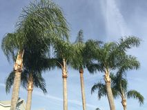 Palm trees on a windy sunny day. Royalty Free Stock Photos