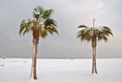Palm trees in winter. Palm trees covered in snow near the ocean Stock Images