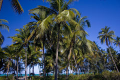 Palm trees on Zanzibar island. This is a shore line with palm trees on Zanzibar island, Paje village, Tanzania Royalty Free Stock Photography