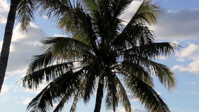 Palm Trees. Zoom back from palm tree blowing and swaying in the wind stock video footage