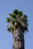 Palm treetop. Leaves and branches on top of a palm tree Royalty Free Stock Photography