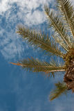 Palm treetop Royalty Free Stock Images