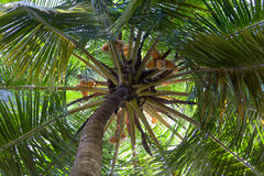 Palm Treetop Royalty Free Stock Photo