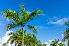 Palm Tress in Caribbean Paradise Stock Photo
