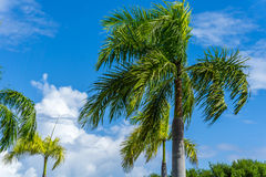 Palm Tress in Caribbean Paradise Stock Images