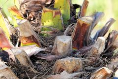 Palm, Tribe, Palm Tree Root, Plant Royalty Free Stock Photo