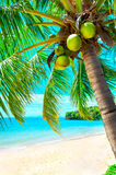 Palm and tropical beach Royalty Free Stock Image