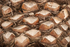 Palm trunk background Royalty Free Stock Photo