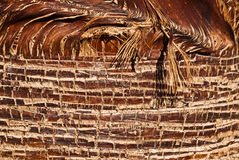 Palm Trunk Detail Royalty Free Stock Photo