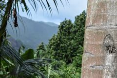 Palm Trunk Focused View in front of Blurred Seychelles Landscape View Stock Image